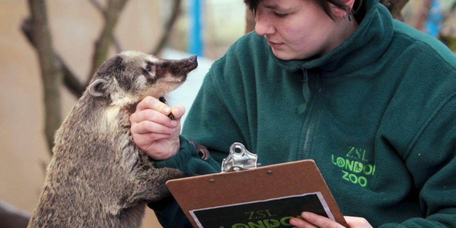 Existen tres especies de mapaches, pero las demás tienen un área de distribución más reducida y son poco conocidas Foto:Getty Images