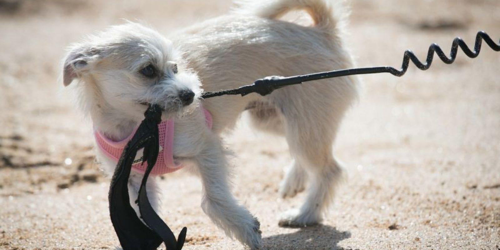 La práctica consiste en alimentar varios perros hasta el hartazgo, tapar su ano y colgarlos en una cuerda que les aprieta el estómago mientras gira. Foto:Getty Images