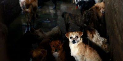 Este año se pensó en matar a aproximadamente 10 mil perros y luego comerlos. Foto:AFP