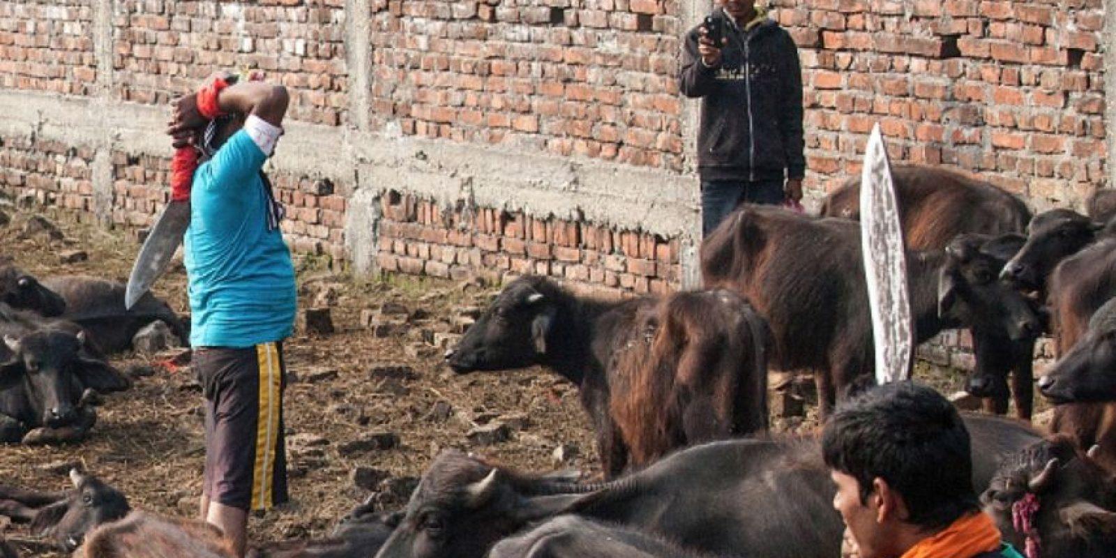 Los asistentes -aproximaDamente 25 mil- provienen de estados fronterizos de la India y llevan a sus animales consigo, caminando con ellos por días. Foto:Getty Images