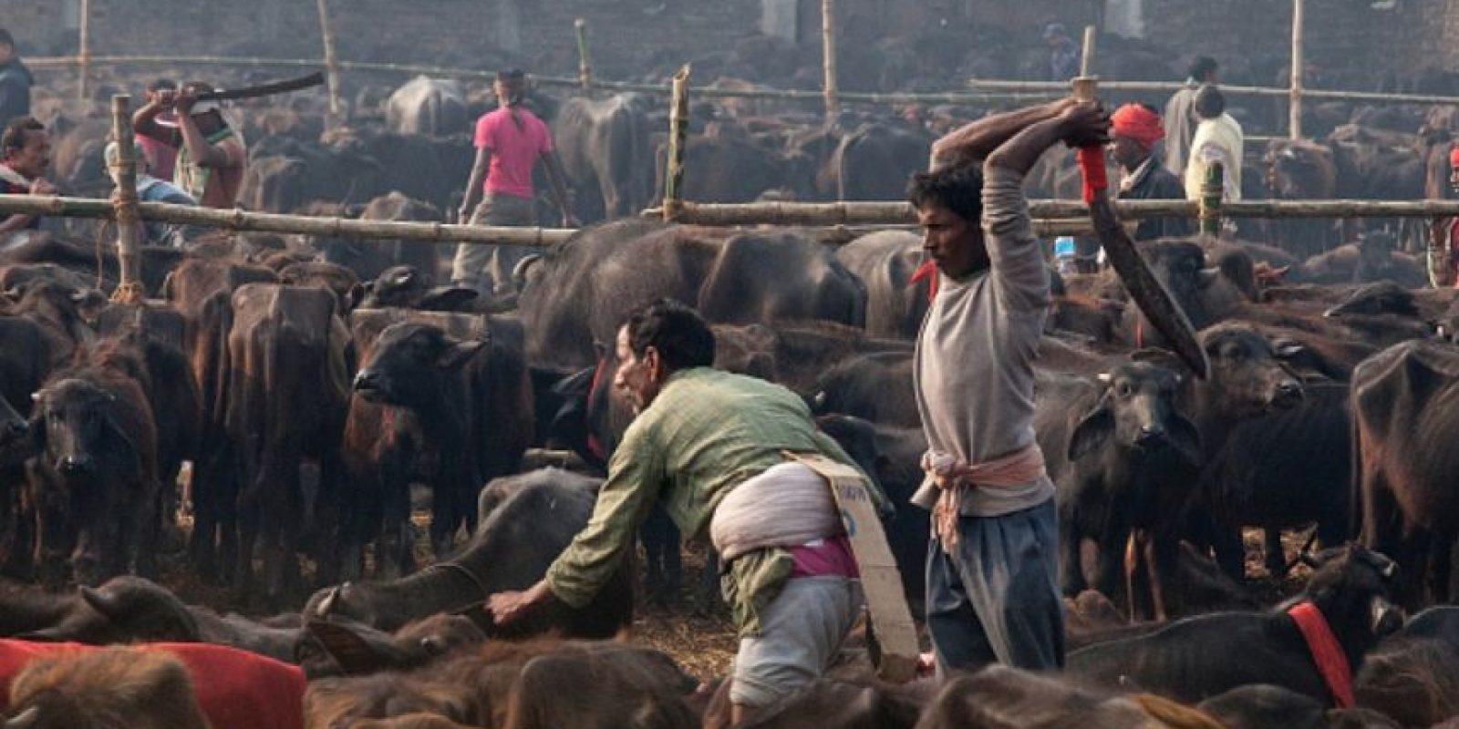 Esta celebración hindú se realiza cada cinco años en Bara, al sur de Nepal, donde devotos matan animales -en su mayoría búfalos, ovejas, gallinas y cabras- como sacrificio a la diosa hindú de la energía. Gadhimai. Foto:Getty Images