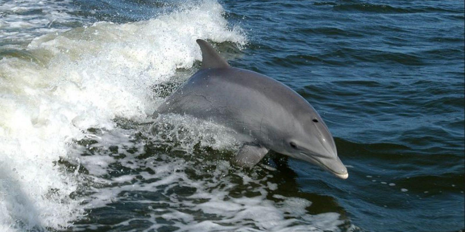 Cada año, en las zonas costeras de las islas Feroe en Dinamarca se lleva a cabo la matanza de miles de delfines debido a la celebración de adolescentes que llegan a la edad adulta. Esta es una tradición que tiene más de mil 200 años. Cabe señalar que ada año se matan de esta manera entre mil y dos mil quinientos delfines. Foto:Wikimedia