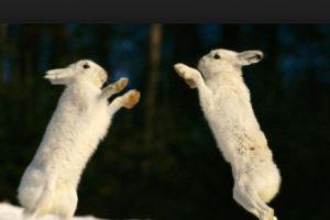 Aquí ambos conejos bien preparados Foto:Tumblr.com/Tagged/pelea/animales