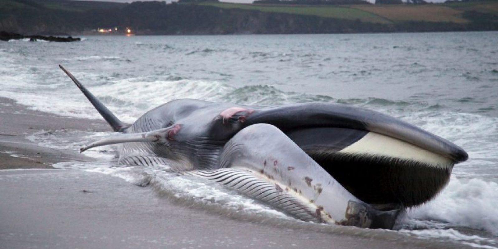 La especie es la segunda más grande del mundo. Foto:Getty Images