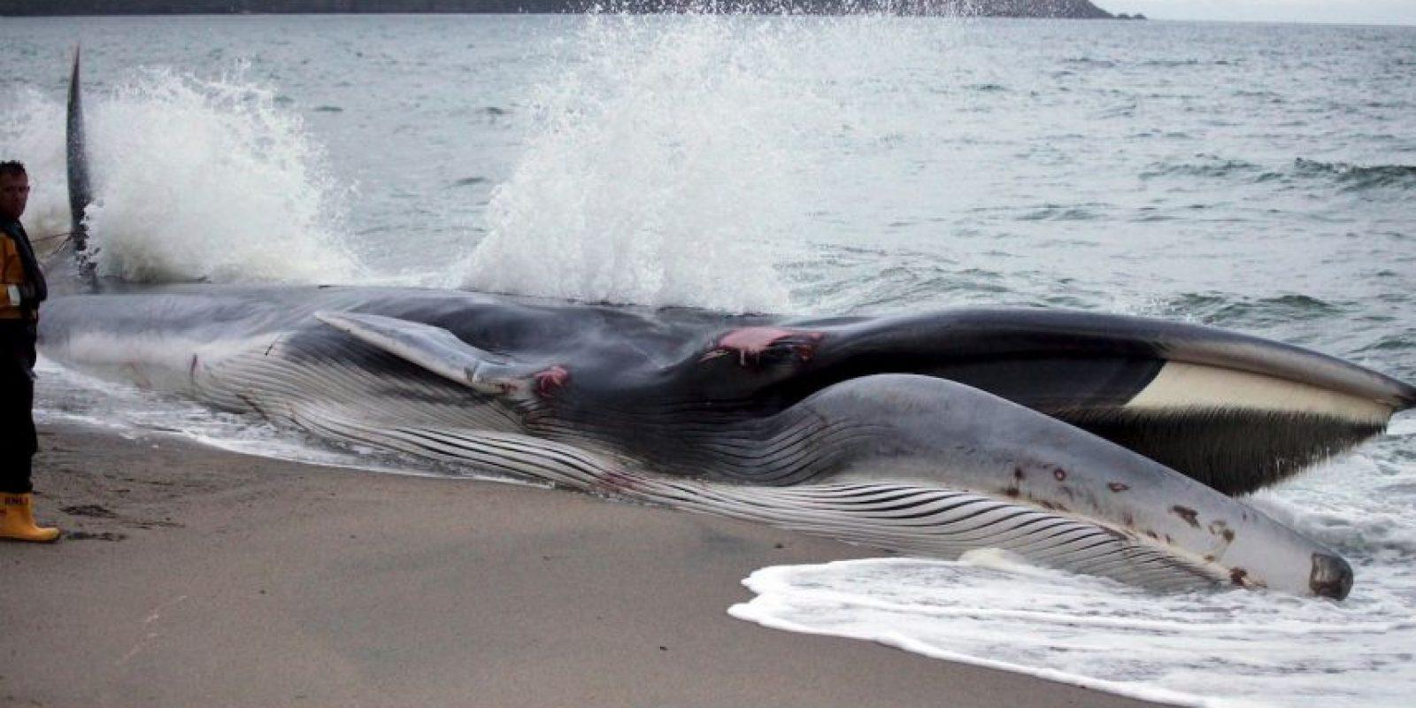 La hembras son más grandes que los machos Foto:Getty Images