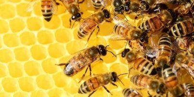Probablemente porque muchos cultivos no son muy atractivos para las abejas de miel, pero muchas especies de abejas silvestres los encuentran muy atractivos. Eso significa que los agricultores reciben estos 3.000 dólares de producción agrícola gratis por parte de la naturaleza. Lo encuentro increíble. Foto:Wikimedia