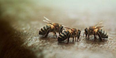 – También se encontró que sólo el 2% de las especies de abejas que existen en un área proporcionan el 80% de los servicios de polinización. Estas especies son, además, muy robustas y son poco afectadas por la expansión agrícola (un importante motor de la disminución de abejas). Esa es una buena noticia porque significa que tenemos que preocuparnos un poco menos que el declive de las abejas polinizadoras afecte nuestra producción de alimentos. No es tan malo como se pensaba anteriormente. Foto:Pixabay