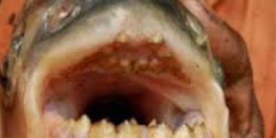 FOTOS: Hallaron un pez que hace algo horripilante con los genitales masculinos