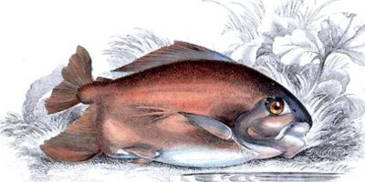 "Qué lindo pescadito amazónico. Tan adorable. Acá parece hasta tener ""boquita de ternura"". Foto:vía Wikipedia"