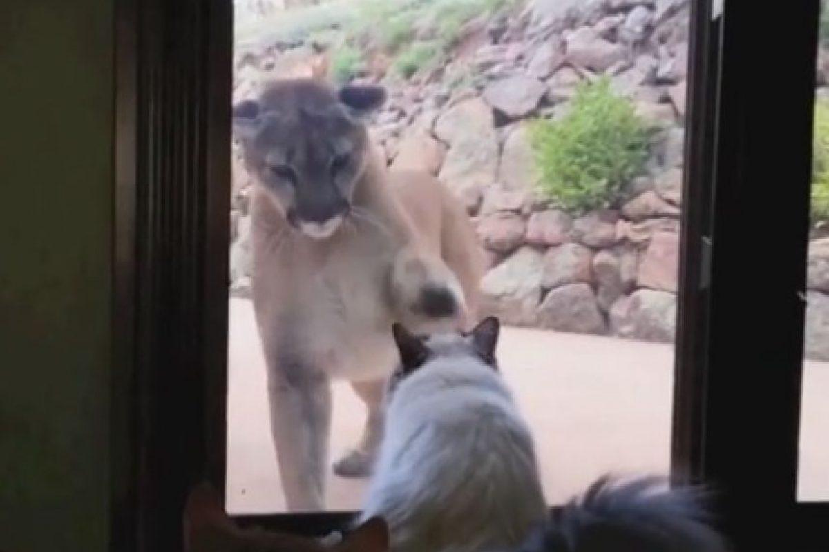 Así intentaba entrar el león Foto:Vía Youtube/Tom Mabe In America