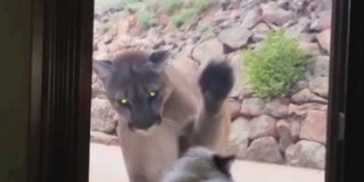 VIDEO: El curioso encuentro entre un gato y un puma