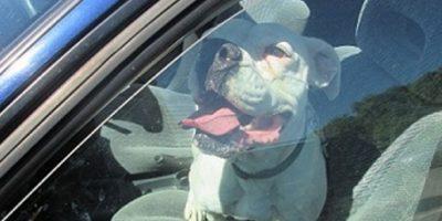 Dejar las ventanas abajo no impedirá que el perro pueda sufrir un ataque de calor. Foto:vía Getty Images