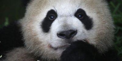 El nombre científico del oso panda es: Ailuropoda melanoleuca Foto:Getty Images