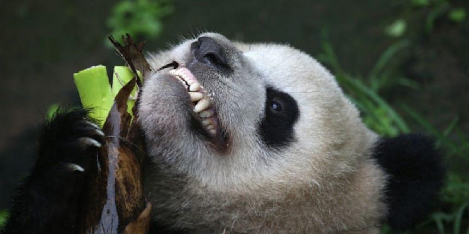 Para dejar de lado ese mal momento, les dejamos tiernas imágenes de panditas. Foto:Getty Images