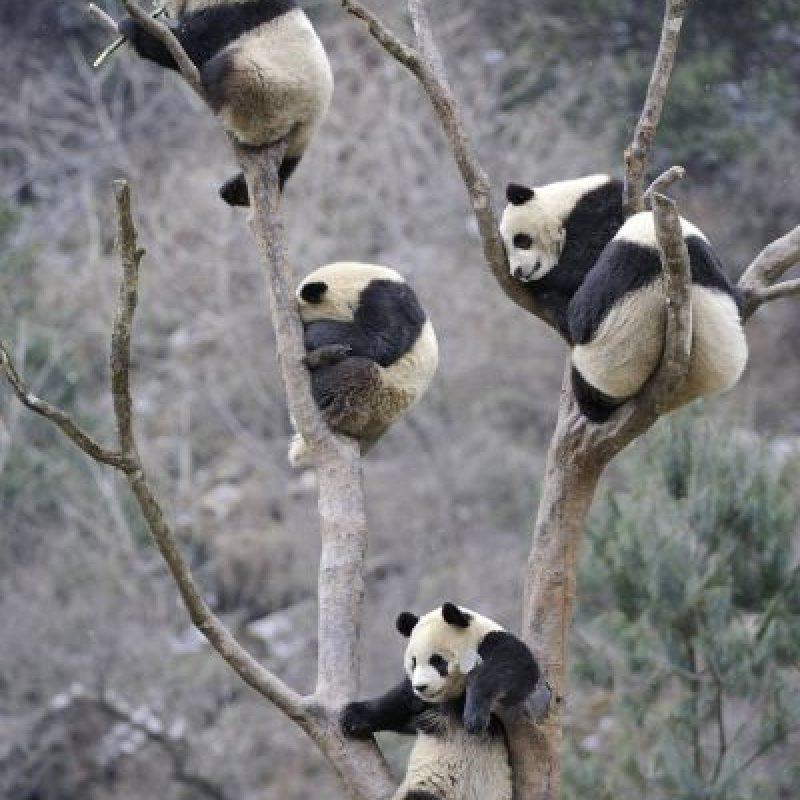 Es un buen trepador, aunque rara vez se le ve en los árboles. Foto:Vía Facebook.com/ipandacom
