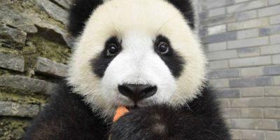 Está en peligro de extinción; la especie está muy localizada. Foto:Vía Facebook.com/ipandacom