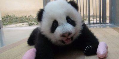 Nativo de China central, el panda gigante habita en regiones montañosas como Sichuan y el Tíbet. Foto:Vía Facebook.com/ipandacom