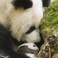 """El nombre del panda en chino significa """"gran oso-gato"""" Foto:Vía Facebook.com/ipandacom"""