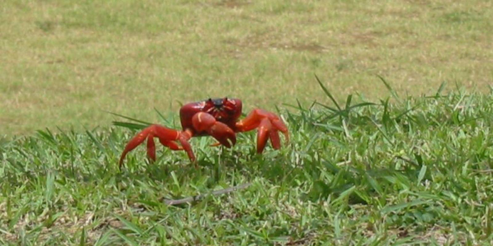Es una pequeña isla australiana a la que llegan más de 120 millones de cangrejos rojos anualmente. Foto:Wikimedia