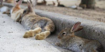 Durante la Segunda Guerra Mundial el gobierno japonés utilizaba la isla para producir armas químicas, y los conejos fueron llevados en gran cantidad para probar los efectos de determinado gas venenoso. Foto:Youtube