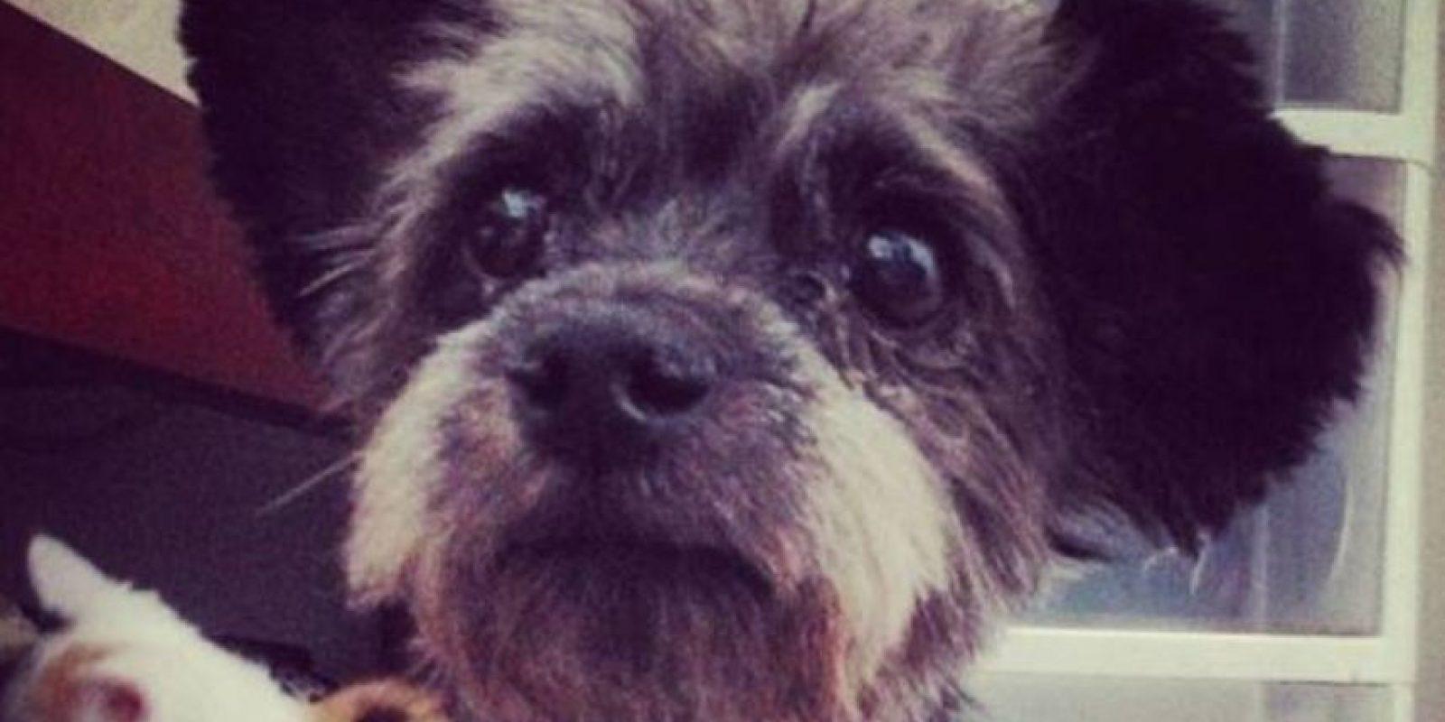 Una mascota no es un juguete. Por esta razón, la página AnimaNaturalis les da algunos consejos para tomar esta importante decisión. Foto:vía ChestersFinalJourney/Instagram
