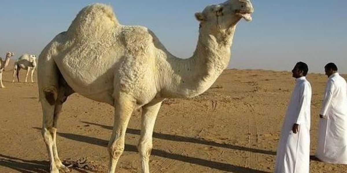 VIDEO: Selfie con camello resultó muy mala idea, descubran por qué