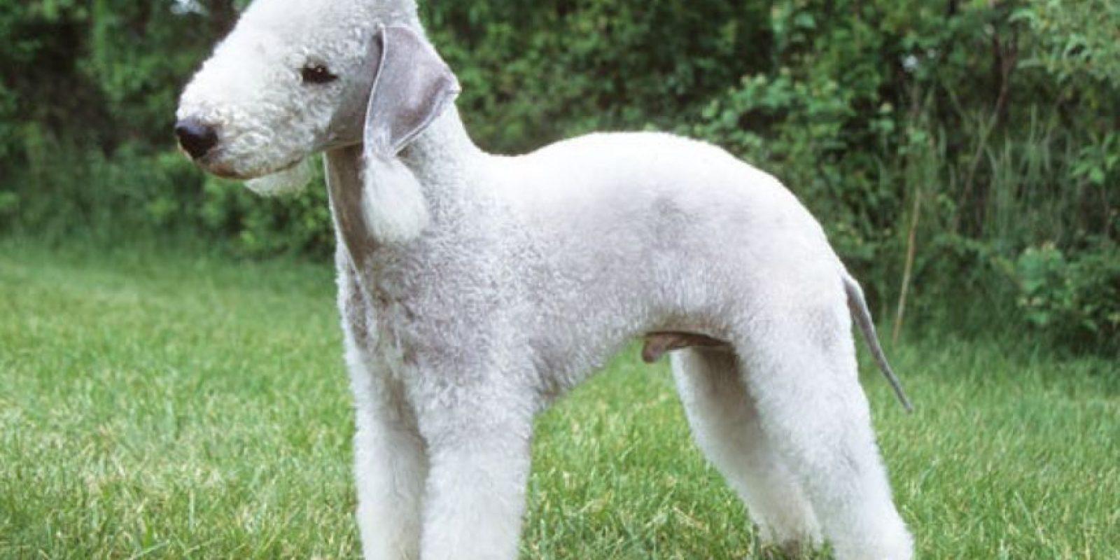 Es originario de Northumberland, Inglaterra. Es activo y propio para ambientes campestres. Foto:vía Animalia.org