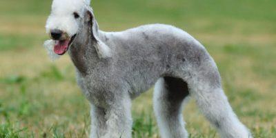 1. Bedlington Terrier. Foto:vía Wikipedia