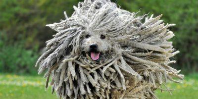 Viene de Hungría. Su pelo no requiere cepillado. Mark Zuckerberg tiene uno. Foto:vía Imgur