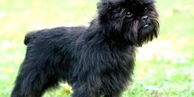Se decía que se produjo de la mezcla de un pinscher y un mono, pero es un mito. Es un buen perro guardián. Foto:vía Wikipedia