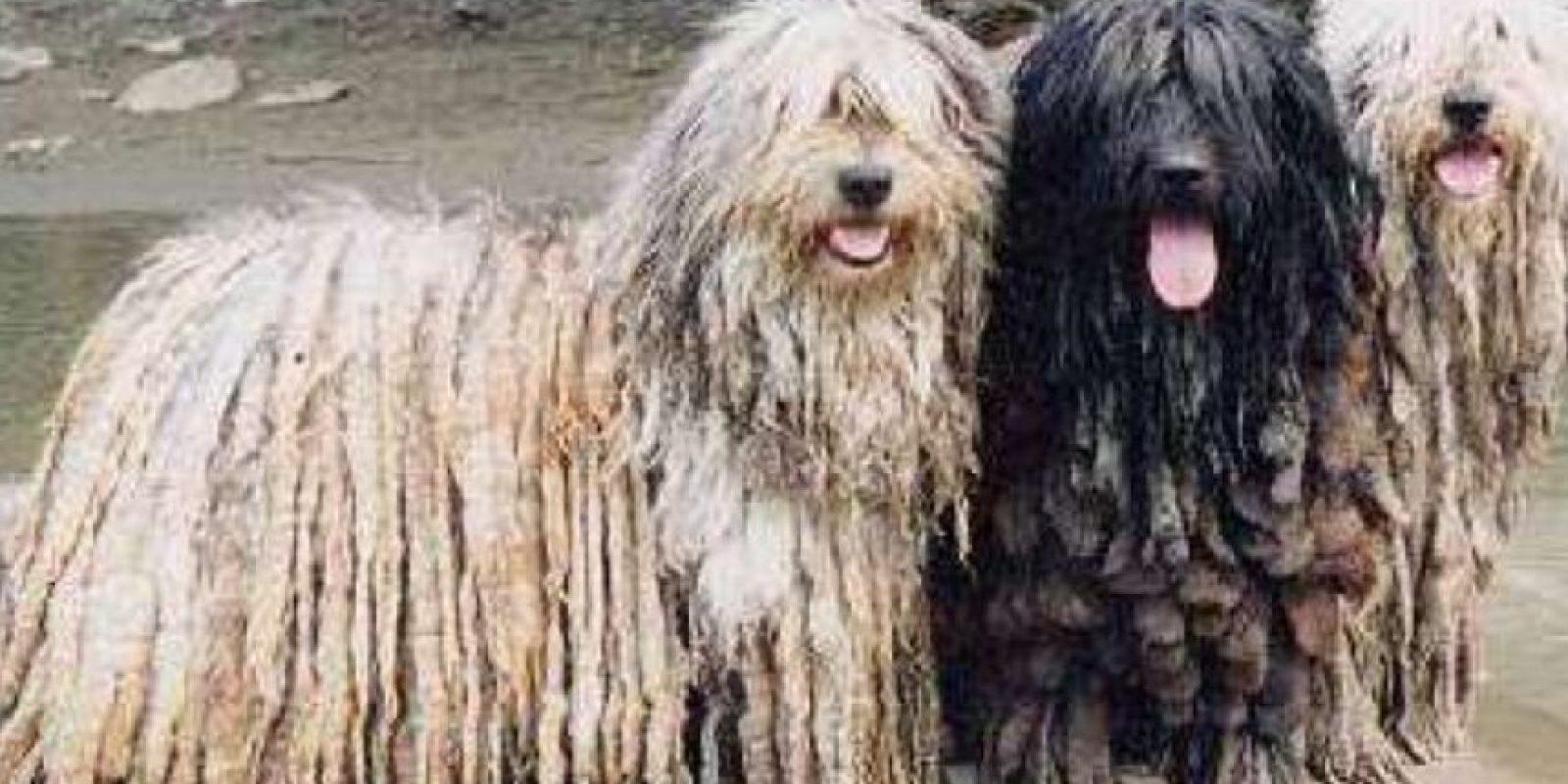 Viene de los Alpes Italianos. Es un perro pastor. Foto:vía Wikipedia