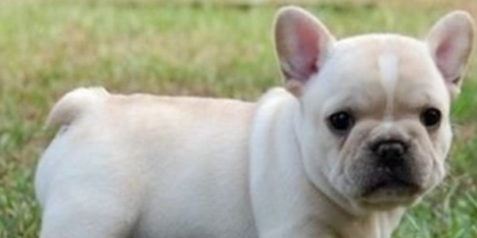 7. Bulldog Francés. Foto:vía Pinterest
