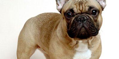 Es un perro que es apto para la compañía. Foto:vía Wikipedia.