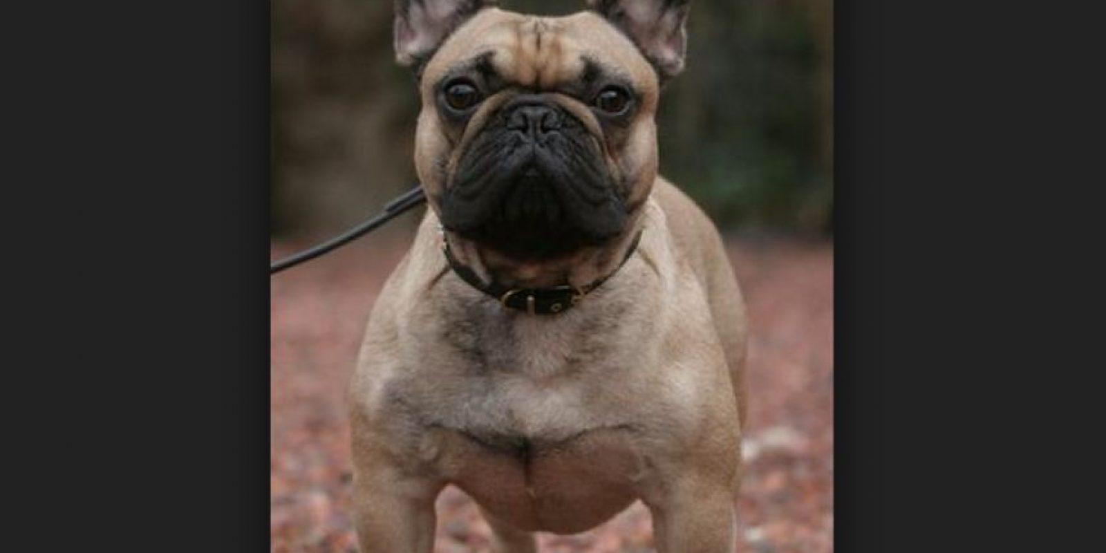 El bulldog francés es una raza originaria de Inglaterra y establecida como tal a finales del siglo XIX. Fueron criados, por primera vez, por encajeras en Inglaterra y, luego, en Francia. Foto:Wikicommons