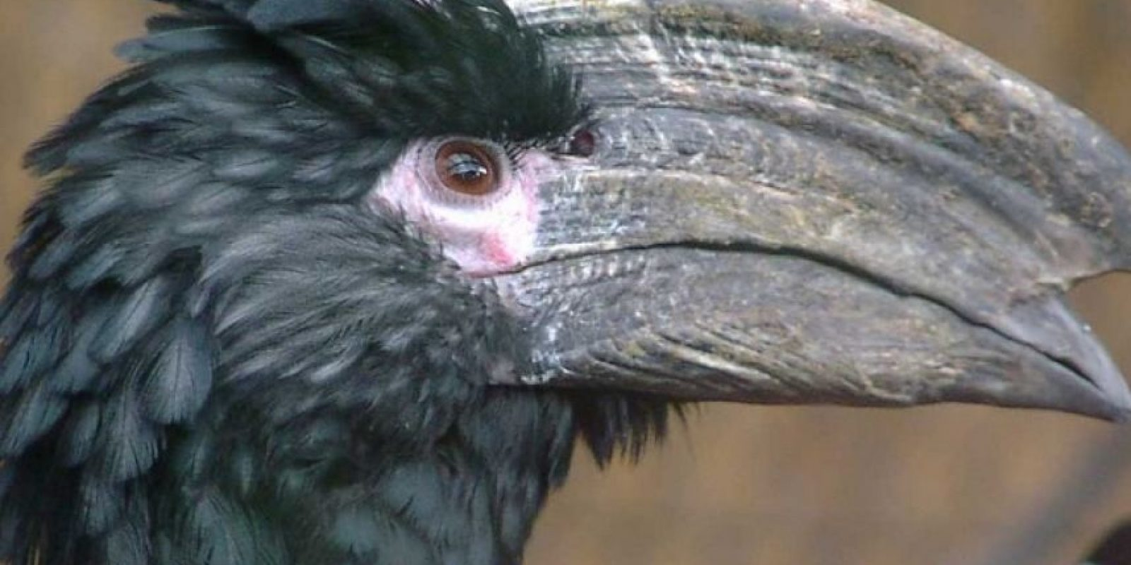 Kalao tronpetari Foto:Wikimedia