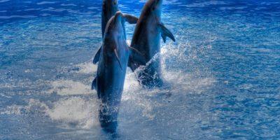 Hermosos delfines Foto:Wikimedia