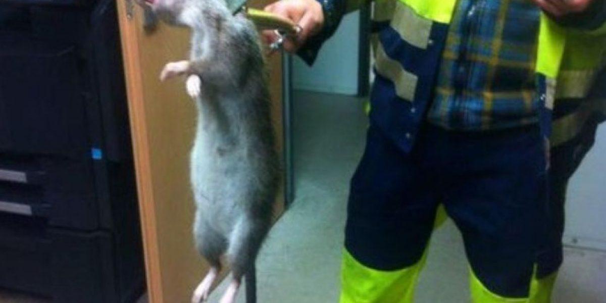 FOTOS: Hombre confunde rata con gato por su enorme tamaño