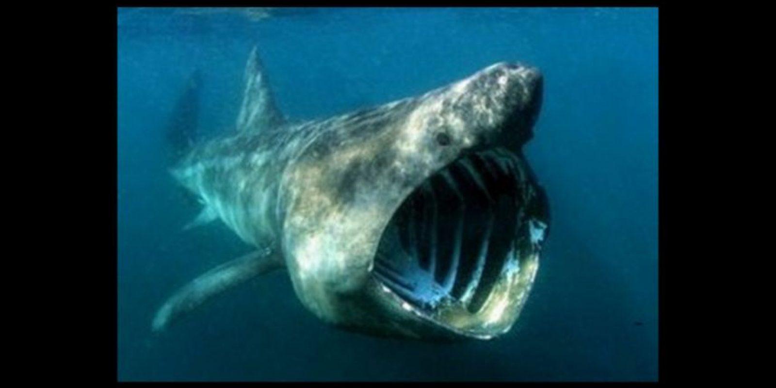 Tiburón peregrino Foto:Wikicommons