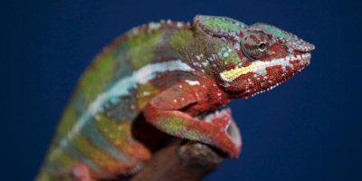 En América se llama a menudo camaleones a los lagartos de la familia de los anoles, que no tienen ningún parentesco especial con los verdaderos camaleones Foto:Getty Images