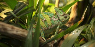 Un camaleón puede llegar a medir desde una hasta 80 pulgadas Foto:Getty Images
