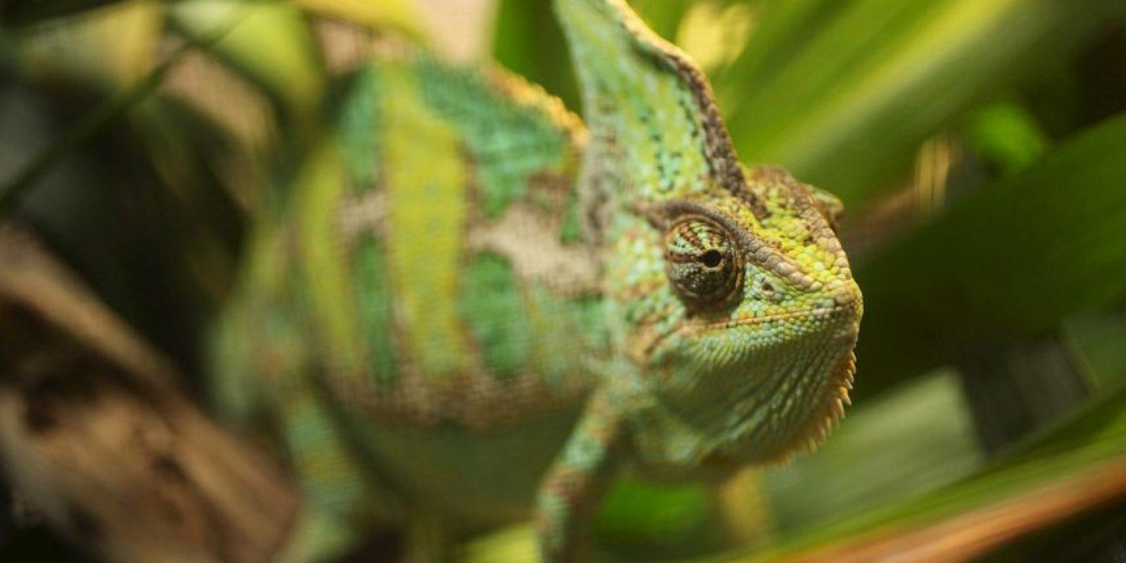 Por su lengua rápida y alargada Foto:Getty Images