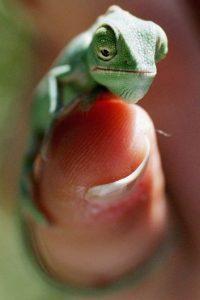 Los camaleones son una familia de pequeños saurópsidos (reptiles) escamosos Foto:Getty Images