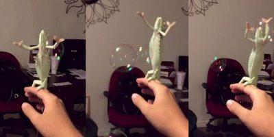 VIDEO: Esta camaleón sabe cómo divertirse con las pompas de jabón