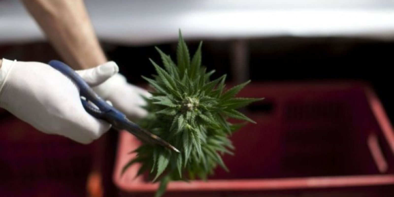 """Según la Sociedad Americana contra el Cáncer, """"un número de estudios pequeños de la marihuana fumada encontró que puede ser útil en el tratamiento de las náuseas y vómitos de la quimioterapia del cáncer"""" Foto:Getty Images"""
