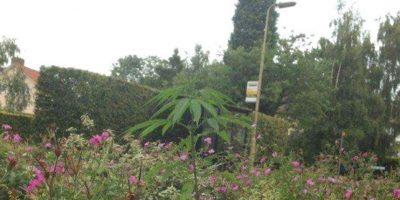 Aseguran que su legalización podría mejorar la economía del país Foto:Facebook.com/pages/Welwyn-Garden-City-Cannabis-Club