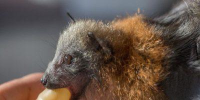 Al separarse de sus madres, estos animales tienen menos probabilidades de sobrevivir. Foto:vía facebook.com/australianbatclinic