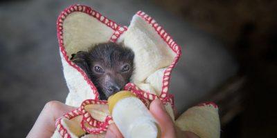 Por ello, Australian Bat Clinic and Wildlife Trauma Center solicita donadores que apoyen a su desarrollo. Foto:vía facebook.com/australianbatclinic