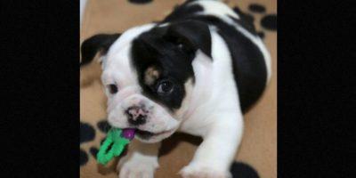 "Se llama ""Bonsai"" Foto:Facebook.com/HalfABulldogTwiceTheLove"