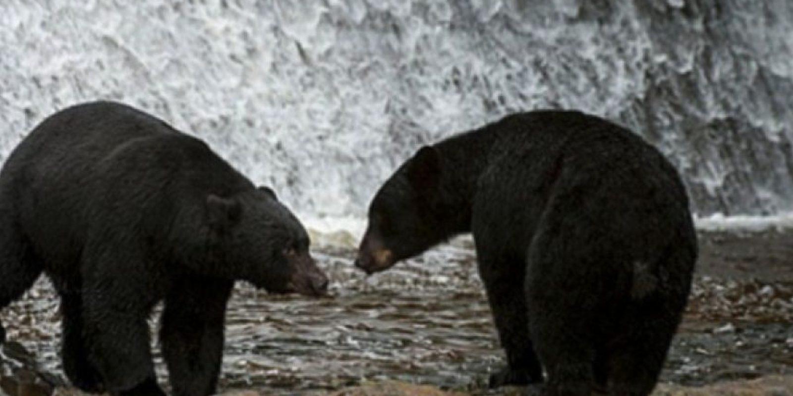 "3. Hombre crió a dos ""perros"" que terminaron siendo salvajes osos Foto:Wikimedia.org"