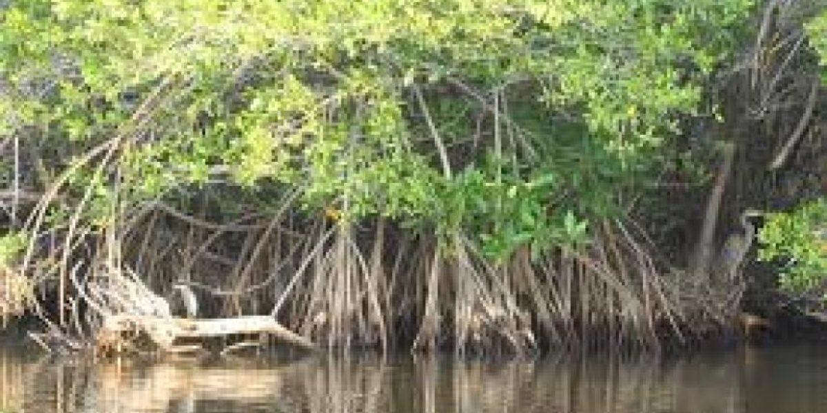 Autoridades ponen sus ojos en la zona de mayor mangle en el Pacífico
